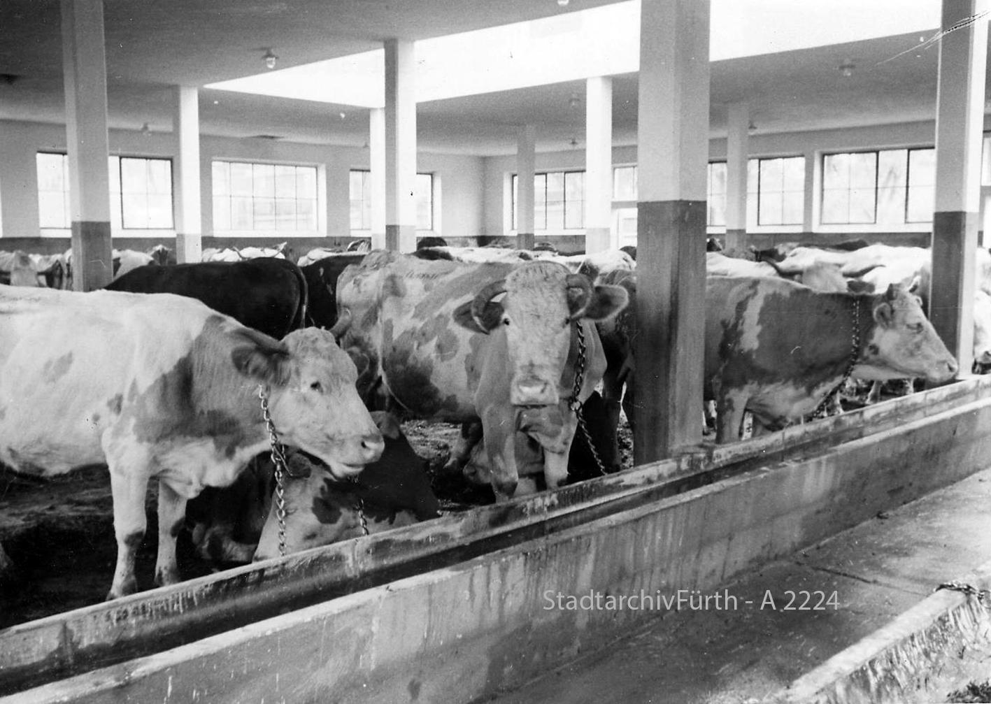 Schlachthof Rinder